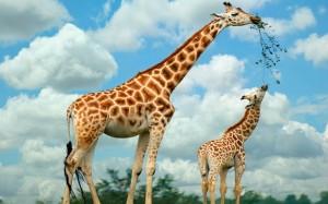 giraf met jong